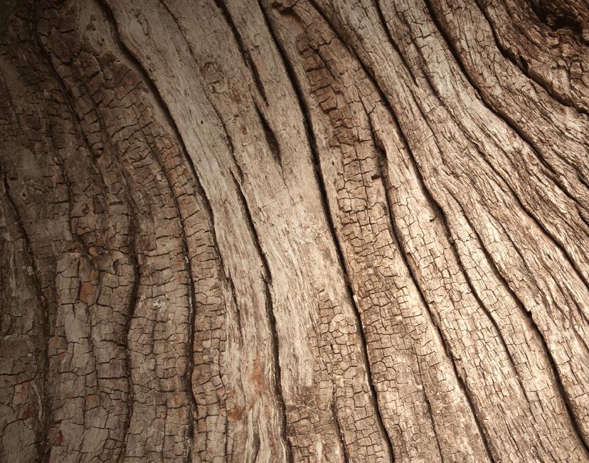 Abbildung der Rinde eines Walnussbaumes